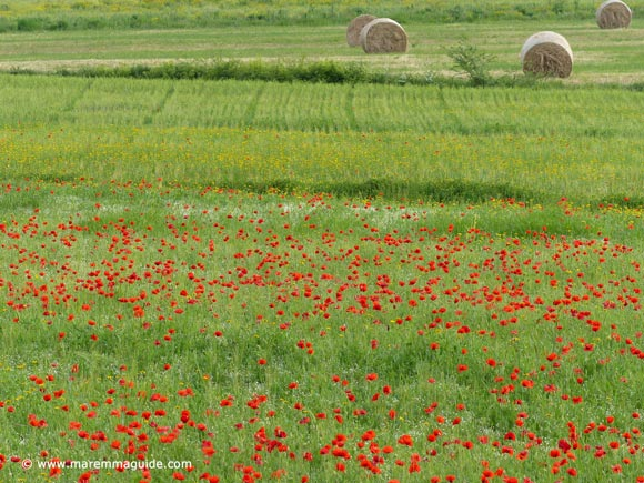 Wild flowers in Maremma Tuscany in early May