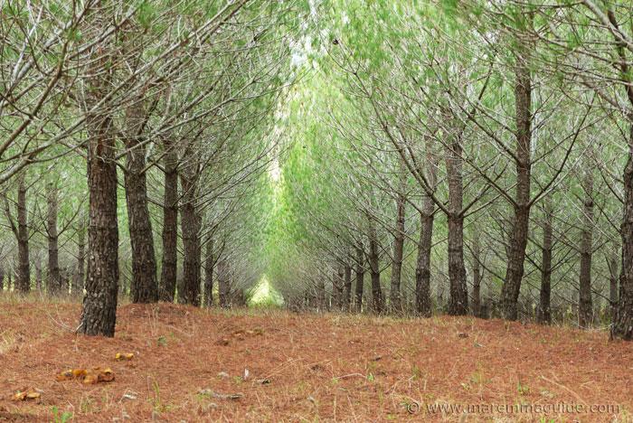Pine wood in Maremma Tuscany