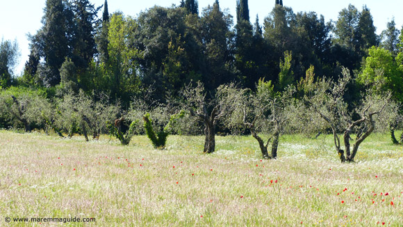 Wild flowers in Tuscany under olive trees in Maremma in April