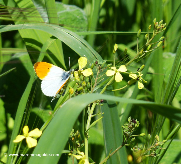 Orange and white butterfly in Maremma Italy on wild flower