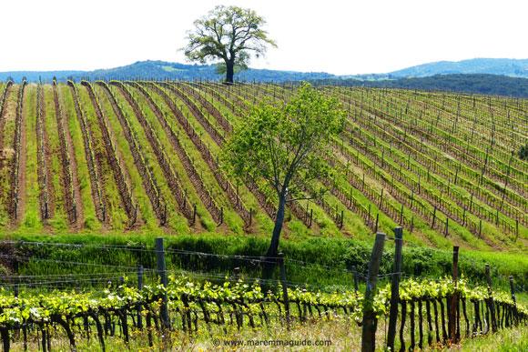 Maremma Tuscany vineyards