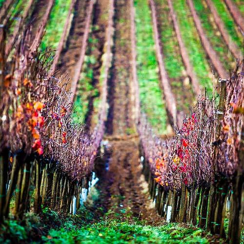 Maremma vineyards: Poggio Lungo Grosseto Tuscany