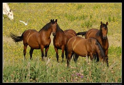 Maremmano horse in Maremma Italy