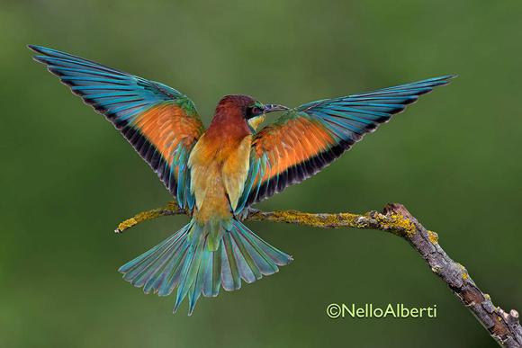 Merops apiaster - European bee-eater - Gruccioni in Maremma Tuscany