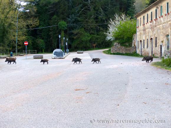 Montioni wild boar - cinghiale