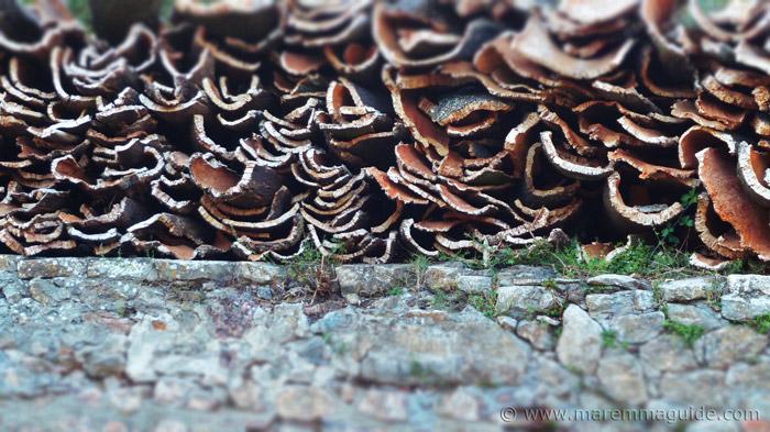 Cork harvest - sughero, Montioni Maremma Tuscany.