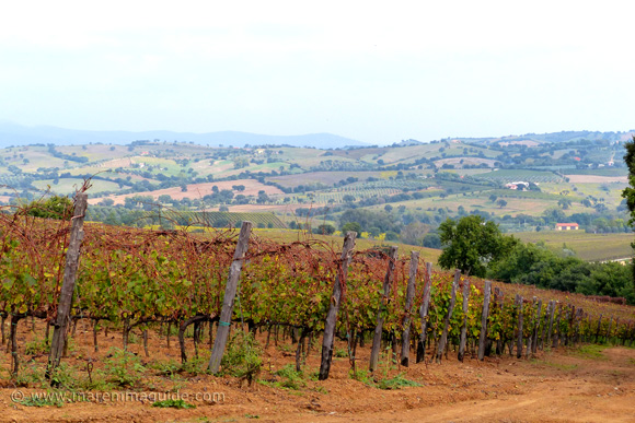 Morellino di Scansano vineyard in Tuscany in October