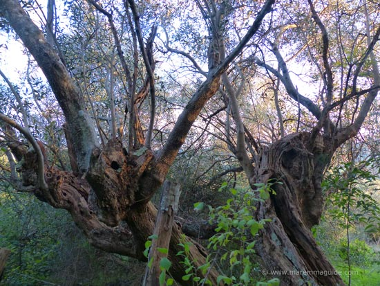 Old olive trees Tuscany