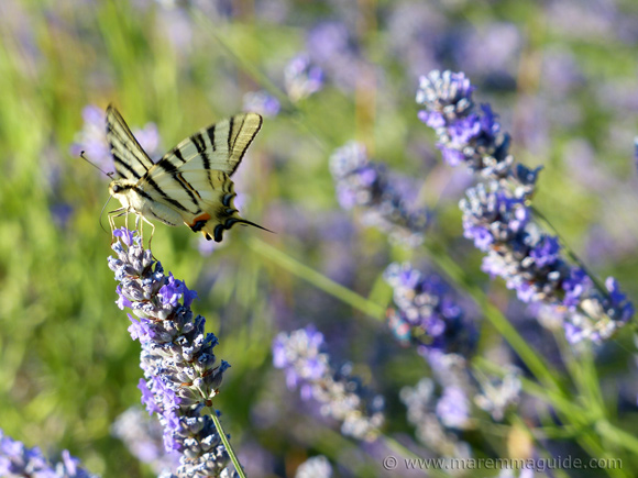 Old Tuscany farmhouse garden with lavender and Swallowtail butterflies