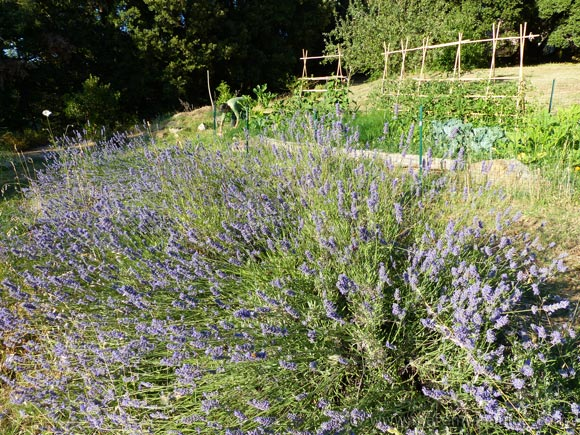 Tuscany farmhouse vegetable garden and lavender