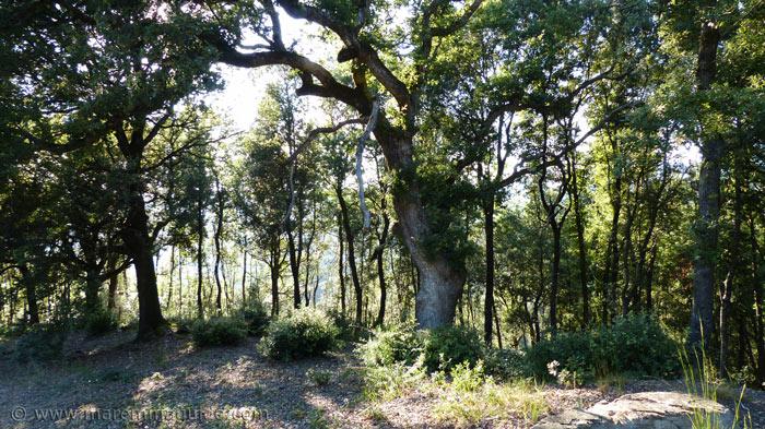 Maremma woodland