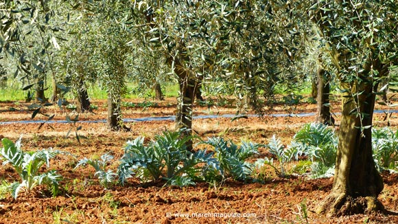 Tuscany olive trees and artichokes in April