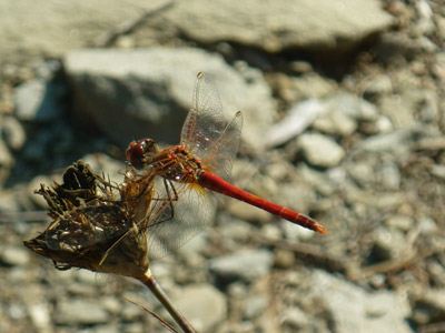 Orange dragonfly, Maremma Tuscany Italy