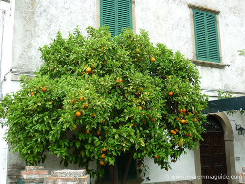 Orange tree in fruit in Ravi Tuscany Maremma Italy