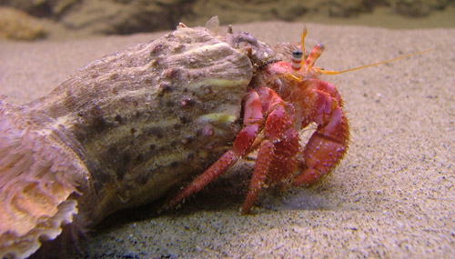 Paguro - hermit crab at Aquarium Mondo Marino, Maremma, Tuscany