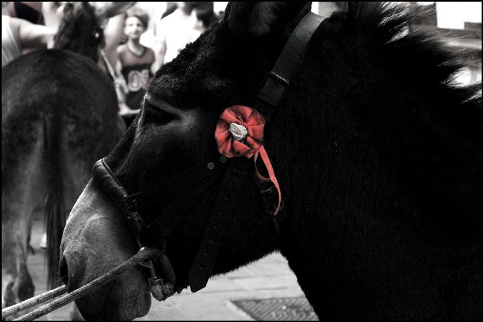 Palio dei Ciuchi donkey race, Monteretondo Marittima, Maremma