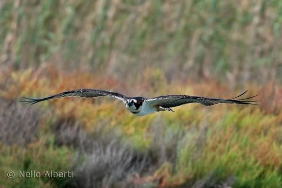 Pandion halicetus, Falco Pescatore, Osprey in Maremma Tuscany