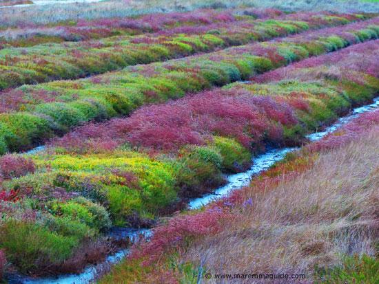 Marshland in flower in autumn in the Parco Costiero della Sperpaia Maremma Tuscany