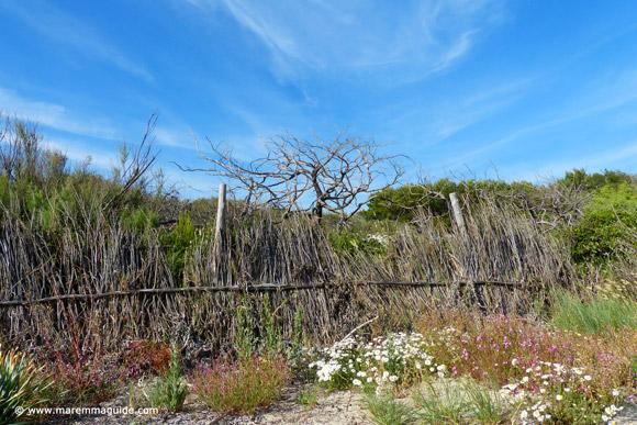 The dunes of the Parco Costiero della Sterpaia Maremma Tuscany