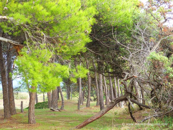The pine wood behind the beaches in the Parco Naturale della Sterpaia Tuscany
