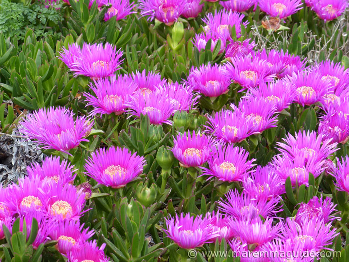 Carpobrotus acinaciformis in full flower in Tuscany.