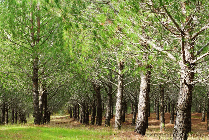 Tuscany landscape: pineta in Maremma