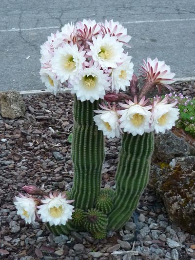 Flowering cactus in Maremma Italy