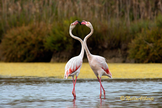 Pink flamingoes courting at Orbetello Laguna Maremma