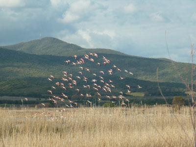 Pink flamingos in flight in Maremma: La Diaccia Botrona Riserva Tuscany Italy