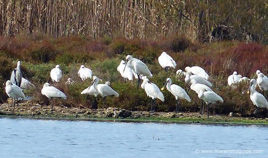 Eurasian Spoonbills Orbetello Lagoon Italy