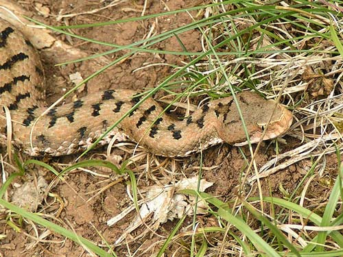 Poisonous snakes in Italy: Viper in Maremma Tuscany