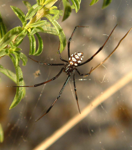 The male Mediterranean black widow spider