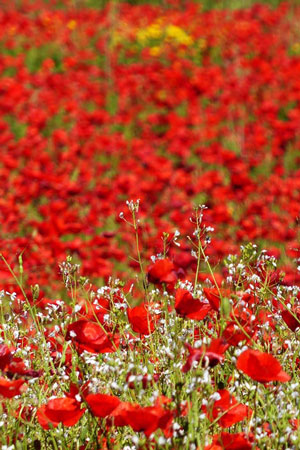 Poppies in bloom in Tuscany