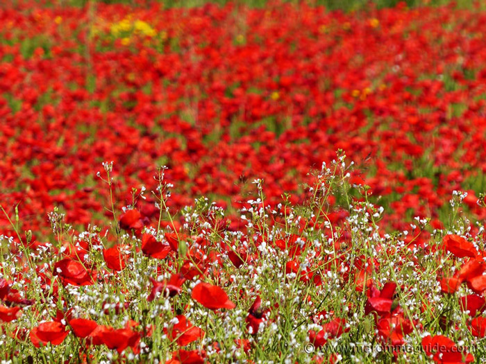 When to see poppies in Tuscany: May.
