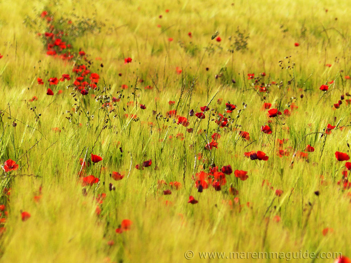 Poppies in bloom in Tuscany in June