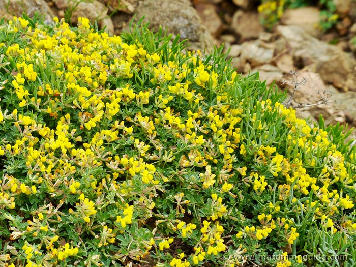 French gorse in flower at Punta Falcone in April.