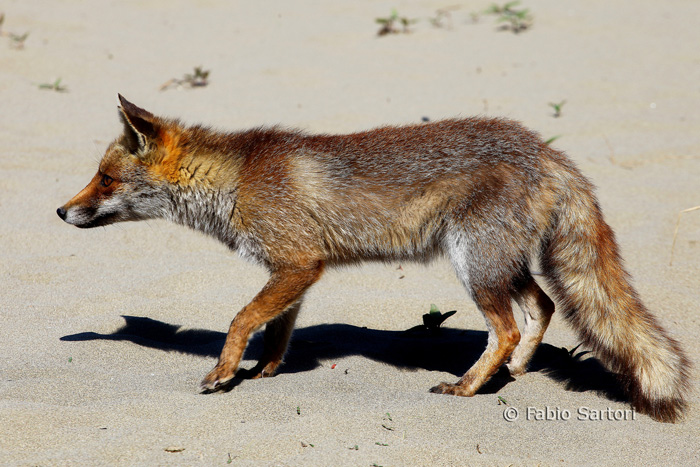 Red fox Tuscany Italy: on Maremma's beaches