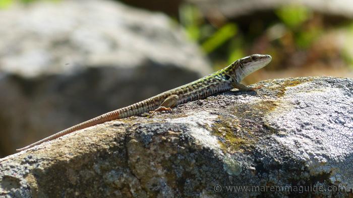 Reptiles in Tuscany, Vetulonia.