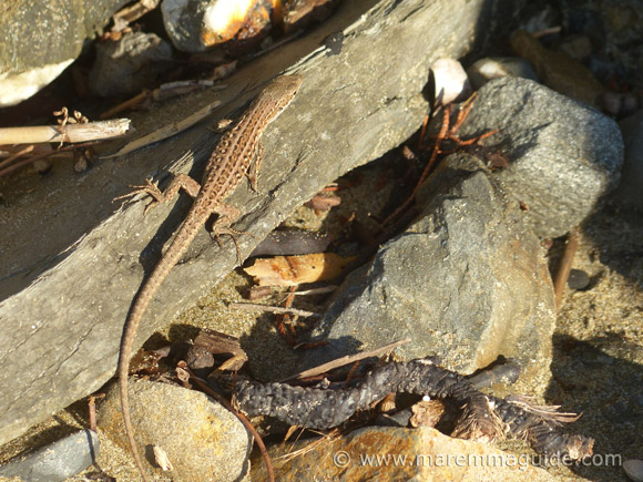 Reptiles in Tuscany Italy: lizard soaking-up the sun on rocks on a secluded Tuscany beach.