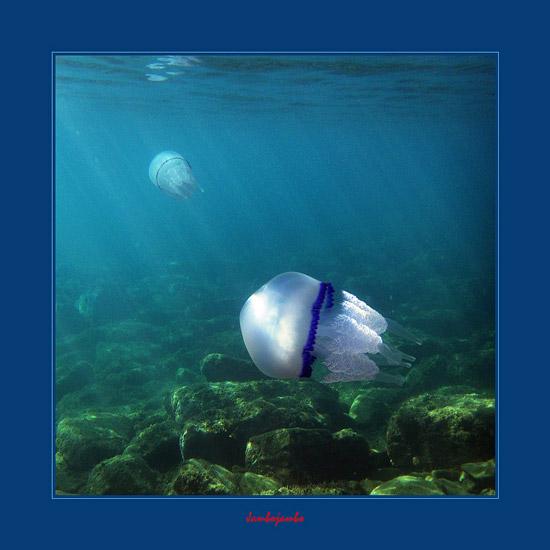 Rhizostoma pulmo: Pulmone di mare, Mediterranean jellyfish in Tuscany