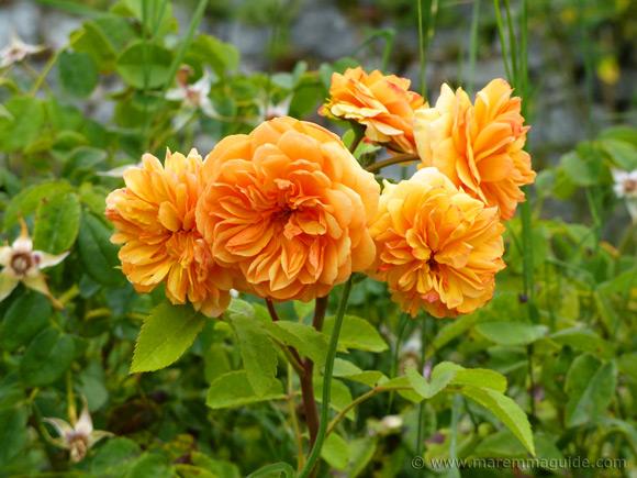 Orange roses in bloom Tuscany