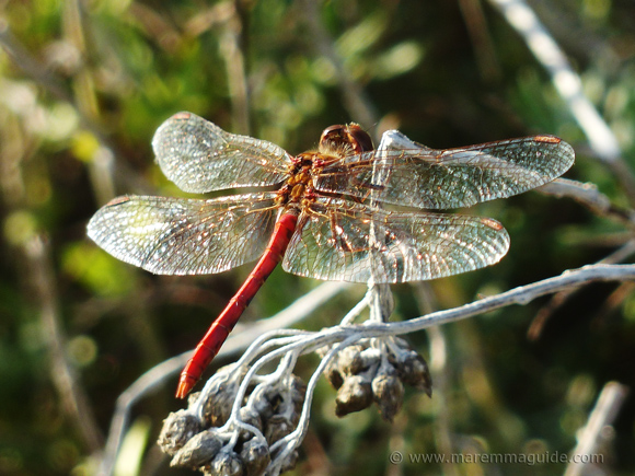 Scarlet Darter Dragonfly, Oasis San Felice Tuscany in October