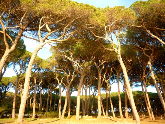 Scarlino beach pineta Maremma Tuscany