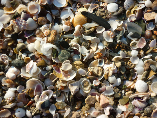 Shells on the beach at Scarlino, Maremma Tuscany