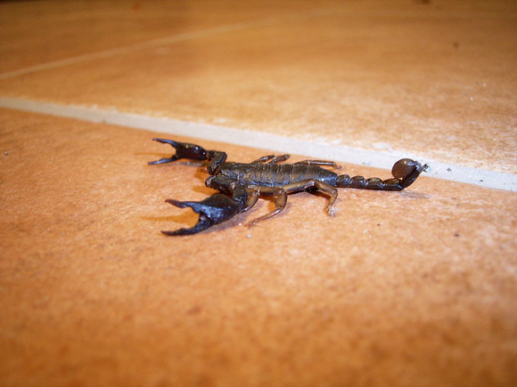 Scorpions in Italy: the Italian scorpion Euscorpius italicus