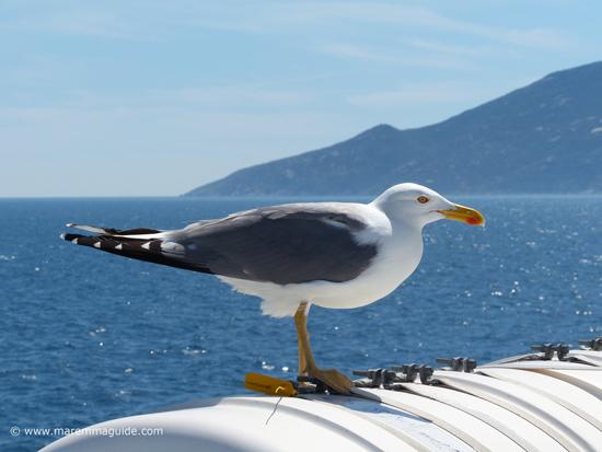 Seagull on ferry to Giglio Island Maremma
