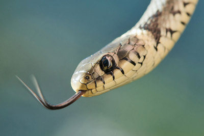 Snakes in Italy: Italian snake Biscia dal collare - European Grass Snake