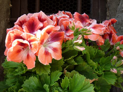 Spring flowers in Tuscany: Tatti windowbox