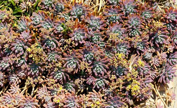 Sticciano succulent garden plants in Tuscany