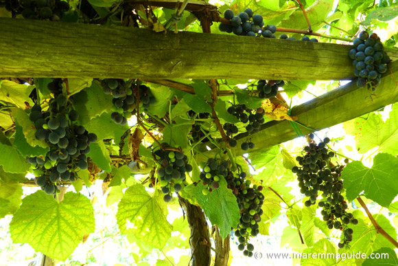 Strawberry wine grapes: uva fragole